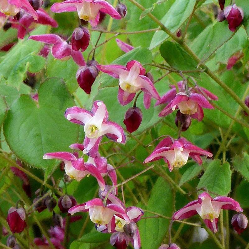 Epimedium x rubrum vivaio online un quadrato di giardino for Piante da sottobosco