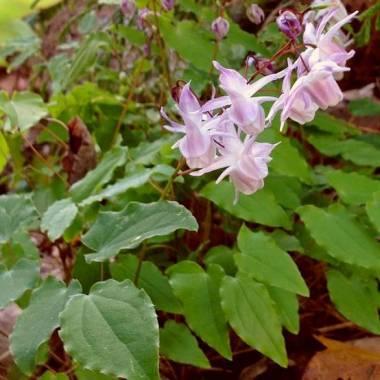 Epimedium × youngianum 'Roseum'