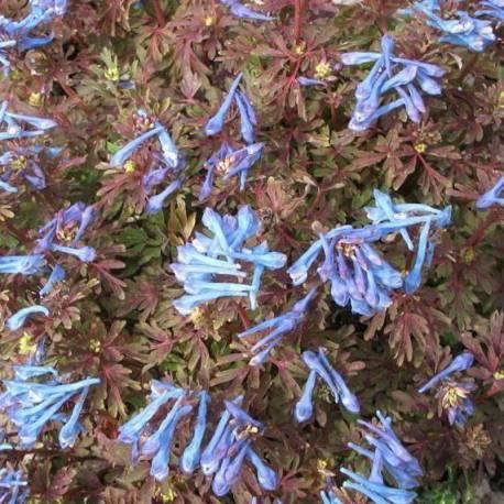 Corydalis flexuosa 'Purple Leaf'