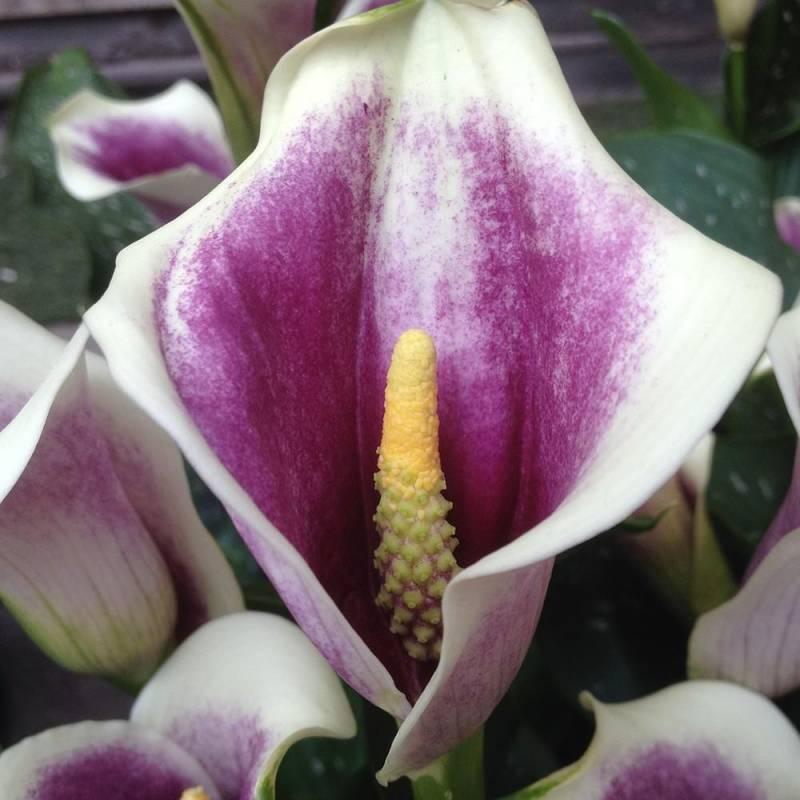 Giardinaggio Giardino Ortensie : Calla zantedeschia picasso vivaio online un quadrato