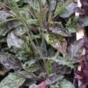 Hieracium maculatum 'Leopard'