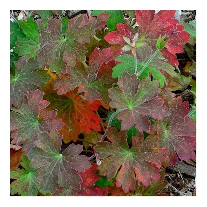 geranium macrorrhizum 39 spessart 39 vivaio online un quadrato di giardino. Black Bedroom Furniture Sets. Home Design Ideas