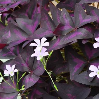 Oxalis triangularis
