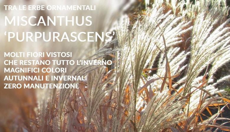 Miscanthus purpurascens