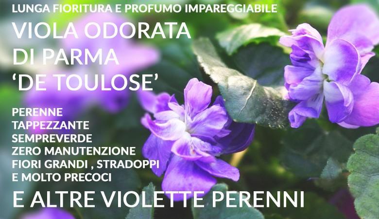 Viola odorata